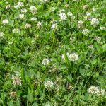 ¿Conocías estos 5 beneficios de no quitar los tréboles del jardín?